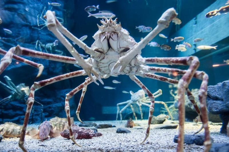 A huge crab in Osaka Kaiyukan Aquarium