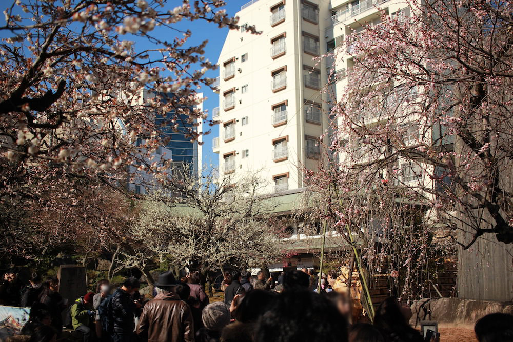 Plum flowers in Yushima Tenjin Shrine